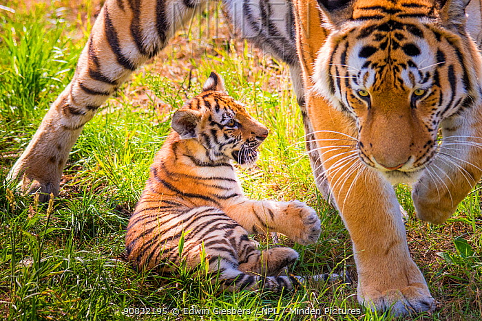 RF - Siberian tiger (Panthera tigris altaica) female with cub age 3 months, captive. (This image may be licensed either as rights managed or royalty free.)