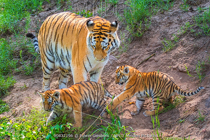 RF - Siberian tiger (Panthera tigris altaica) female with cubs age 3 months, captive. (This image may be licensed either as rights managed or royalty free.)