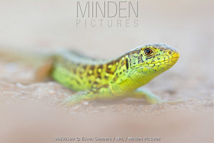 RF - Sand lizard (Lacerta agilis) male, the Netherlands. June. (This image may be licensed either as rights managed or royalty free.)