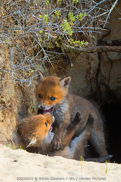 RF - Red fox (Vulpes vulpes) cubs age five weeks, playing at entrance to den, the Netherlands. April. (This image may be licensed either as rights managed or royalty free.)