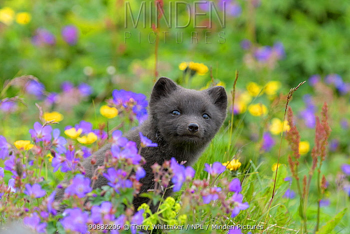 RF - Arctic fox cub (Alopex lagopus) amongst summer flowers, Hornvik, Westfjords, Iceland. July (This image may be licensed either as rights managed or royalty free.)