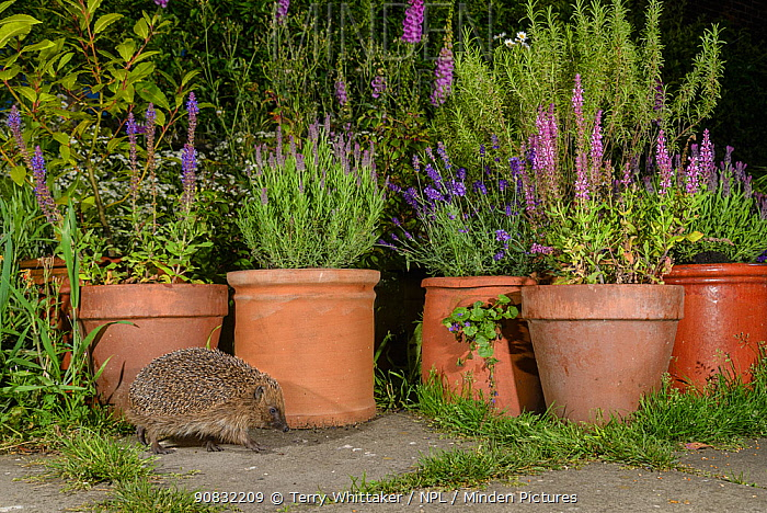 RF - European hedgehog (Erinaceus europaeus), in urban garden, Manchester, UK  (This image may be licensed either as rights managed or royalty free.)