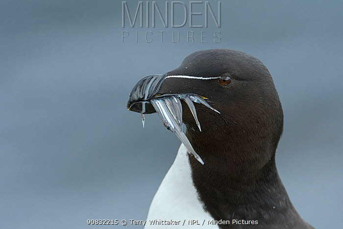RF - Razorbill (Alca torda) adult with sandeels. Grimsey Island, Iceland (This image may be licensed either as rights managed or royalty free.)
