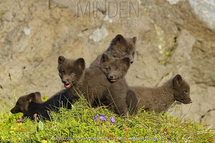 Arctic fox cubs (Alopex lagopus) Hornvik, Westfjords, Iceland. July