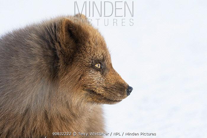 Arctic fox (Alopex lagopus) blue colour morph in winter coat, head portrait, Hornstrandir, Iceland. March