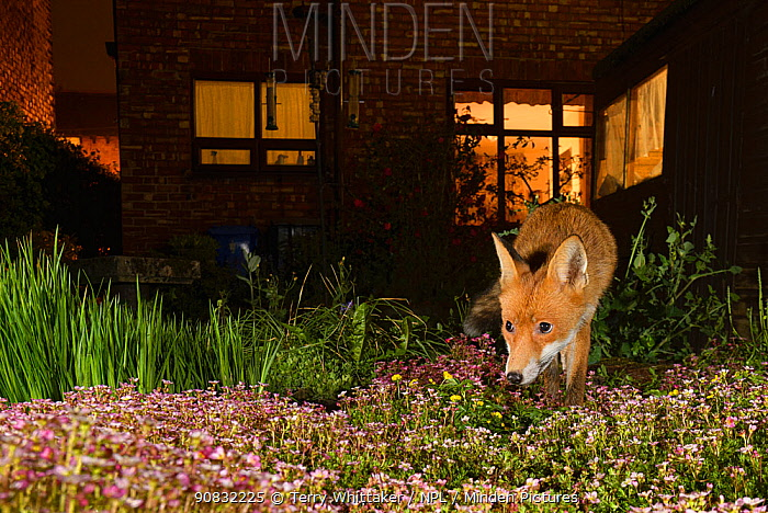 Red fox (Vulpes vulpes) in town house garden at night, Greater Manchester, UK. Camera trap image.
