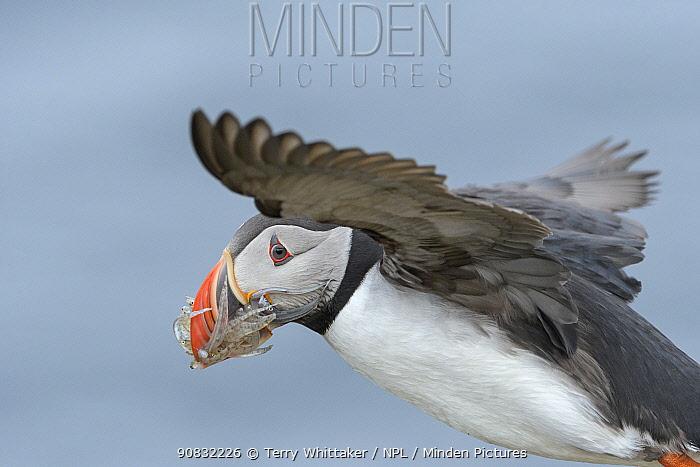 Puffin (Fratercula arctica) bringing lesser sandeels ( Ammodytes tobianus) back to burrow. Grimsey Island, Iceland, July