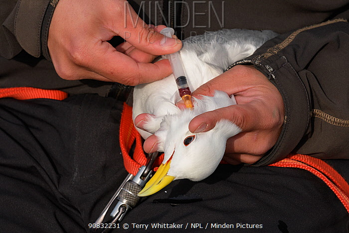 Scientist taking a blood sample from a Kittiwake (Rissa tridactyla). Staff from Natturustofa Noroausturlands (Northeast Iceland Nature Research Centre) catch seabirds at Skoruvikurbjarg bird cliffs on Langanes Peninsula, Iceland to fit and replace geolocators to monitor the bird's movements. Iceland, June 2017.
