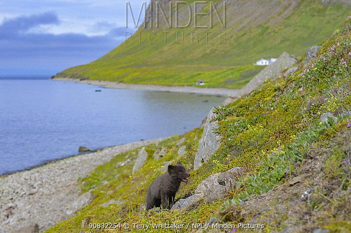 Arctic fox cub (Alopex lagopus) along the coast at Hornvik, Hornstrandir, Westfjords, Iceland. July.