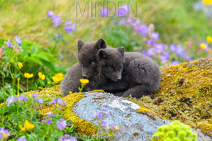 Arctic fox cubs (Alopex lagopus) amongst summer flowers Hornvik, Hornstrandir, Westfjords, Iceland. July.