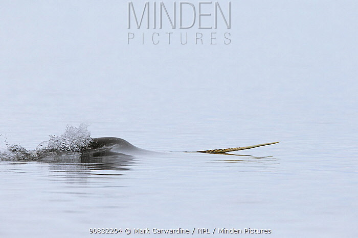 Narwhal (Monodon monoceros) male showing tusk. Pond Inlet, northern Baffin Island, Nunavut, Canadian Arctic.