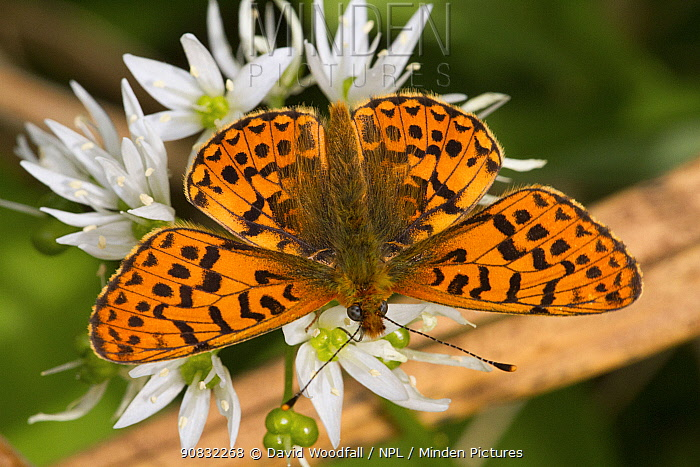Pearl-bordered fritillary butterfly (Boloria euphrosyne) feeding on Wild garlic (Allium ursinum) flowers. Wales, UK. May.