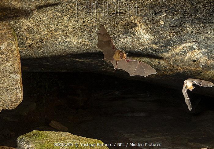 A Kolar leaf-nosed bat (Hipposideros hypophyllus) flying, endemic to one cave in Hanumanahalli village, Karnataka, India. December.