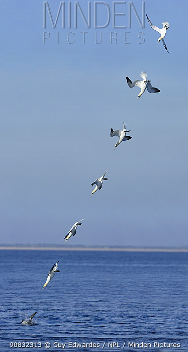 Northern Gannet (Morus bassanus) diving into the sea, sequence. Republic of Ireland. Composite image