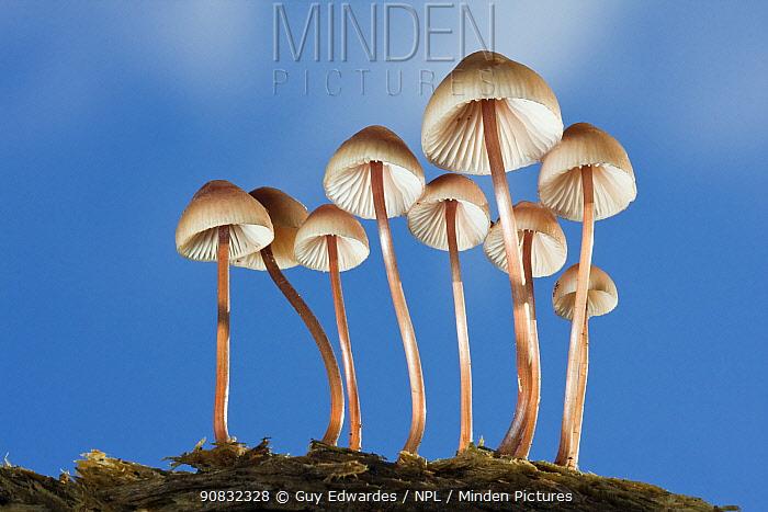 Group of Mycena fungi against blue sky, New Forest, Hampshire, England, November 2009