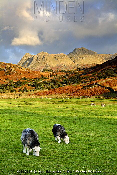 Sheep in the Langdale Pikes from Fell Foot Farm, Lake District National Park, Cumbria, England, November 2007