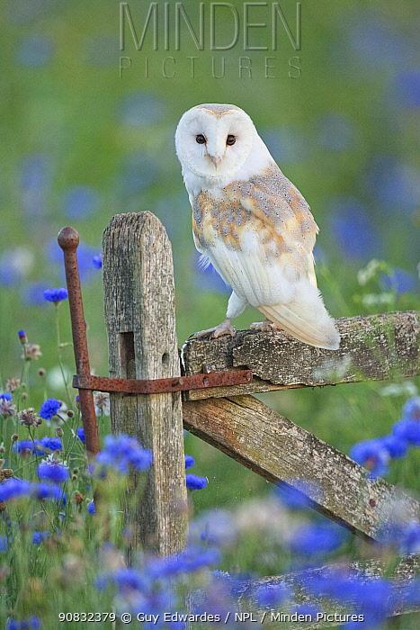 Barn owl (Tyto alba) perched on gate, England, UK, September.