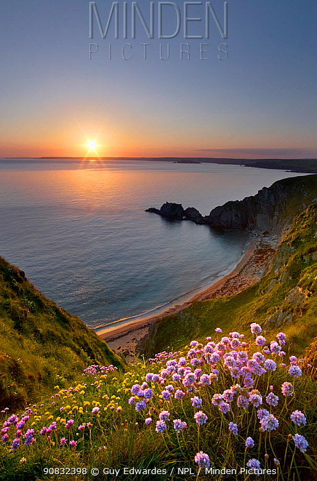 Thrift (Armeria maritima) in foreground looking over Hope Cove at sunset, Bigbury Bay, Devon, England, UK. November 2016.