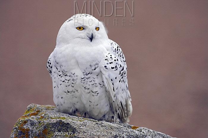 Snowy Owl (Bubo scandiacus) female, perched on rock. Captive.