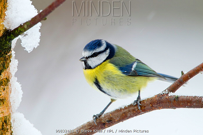 Blue tit (Cyanistes caeruleus) male perched on snow covered branch, West Yorkshire. January
