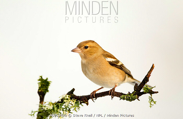 Chaffinch (Fringilla coelebs) female perched on twig with snowy background. Dumfries and Galloway, Scotland. January