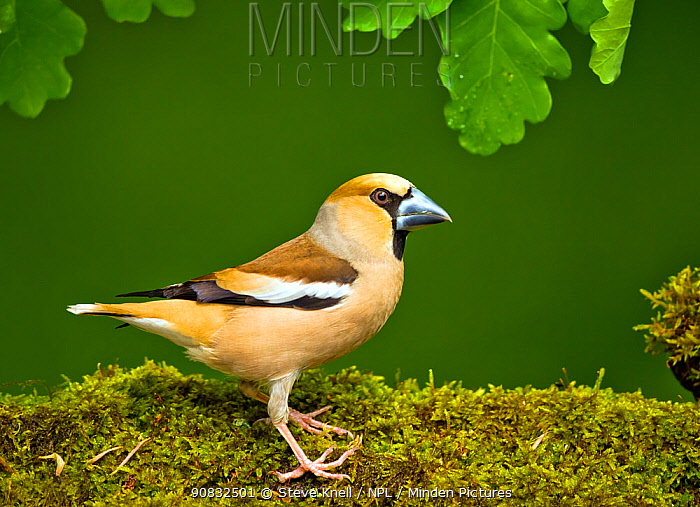 Hawfinch (Coccothraustes coccothraustes coccothraustes) male perched on moss covered log,in forest setting. Hungary, May
