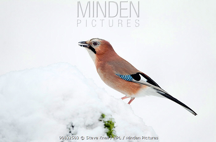 Jay (Garrulus glandarius) perched on freshly covered snow,feeding on hidden food store, Dumfries and Galloway, Scotland. January