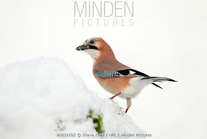 Jay (Garrulus glandarius) perched on freshly covered snow,feeding on hidden food store, Dumfries and Galloway, Scotland, January.