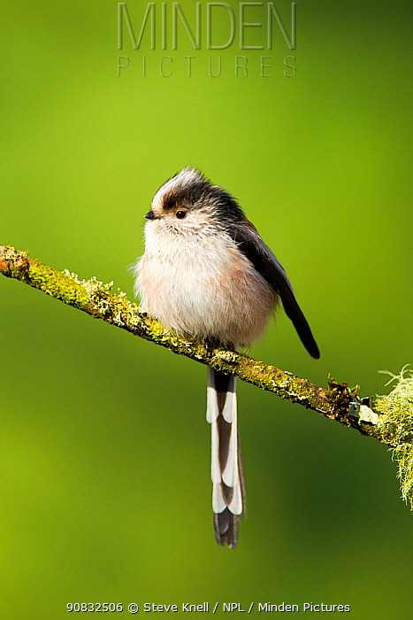 Long-tailed tit (Aegithalos caudatus rosaceus) adult perched on lichen covered twig, Lancashire, England, UK, March.