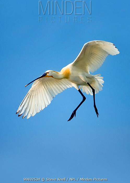 Spoonbill (Platalea leucorodia leucorodia) adult in summer plumage,in flight about to land. Hungary, May.