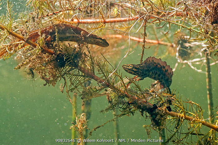 Common newt (Lissotriton vulgaris) pair approaching each other on Spiked water-milfoil (Myriophyllum spicatum) prior to mating. In garden pond, Netherlands. April.