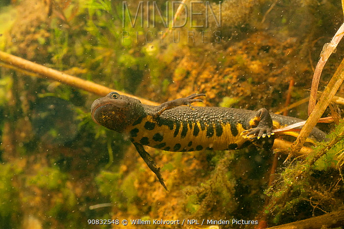Great crested newt (Triturus cristatus) female egg laying amongst water plants. In garden pond, Netherlands. April.