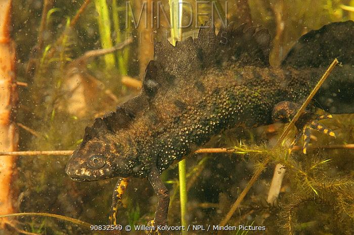 Great crested newt (Triturus cristatus) male in garden pond. Netherlands. April.