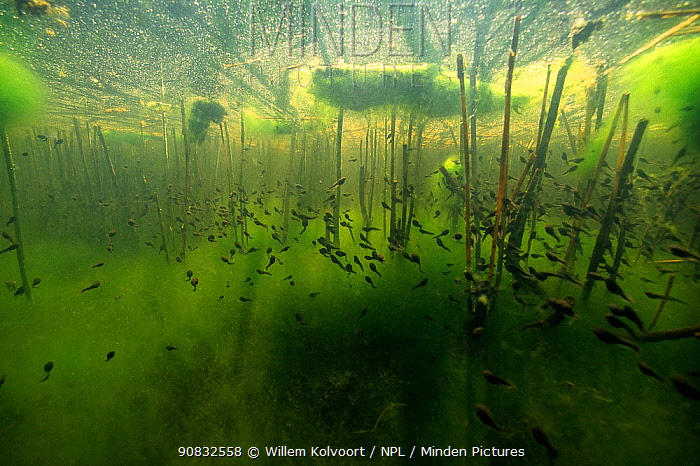 Common toad (Bufo bufo) tadpoles amongst algae and reedstems in small lake. Netherlands.