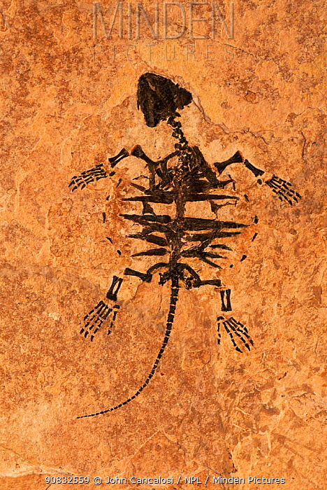 Fossil of Snapping turtle juvenile {Chelydridae} Eocene period, Wyoming, USA