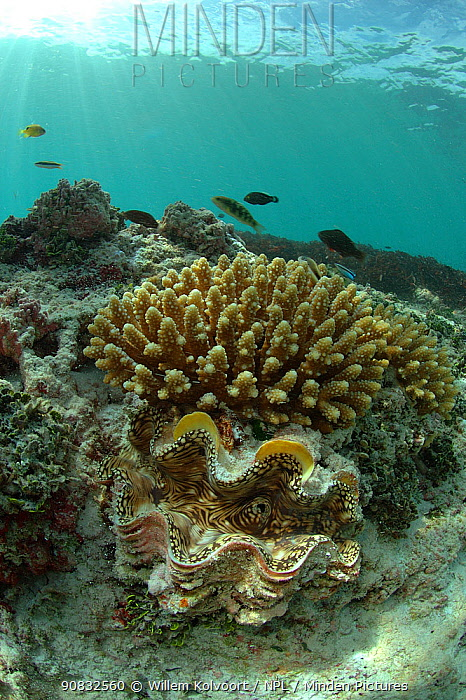 Giant clam (Tridacna gigas) in coral reef, St. Joseph, Seychelles, Indian Ocean