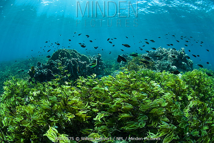 Coral reef with different fish and seagrass, shallow reef of Cosmoledo Island, Seychelles, Indian Ocean