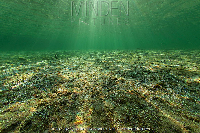 Algae on the sandy sea floor produce oxygen bubbles, Cosmoledo Island, Seychelles, Indian Ocean