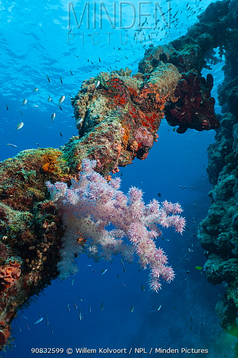 Overgrown old anchor chain with soft corals, hard corals and sponges at the drop-off of Astove reef, Astove Island, Seychelles, Indian Ocean