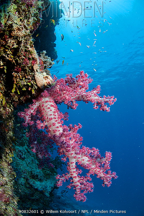 Soft coral at the drop-off of Astove reef, Astove Island, Seychelles, Indian Ocean