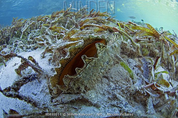 Flag pen shell (Atrina vexillum) in Passe Magnan / Magnan channel, Aldabra, Indian Ocean