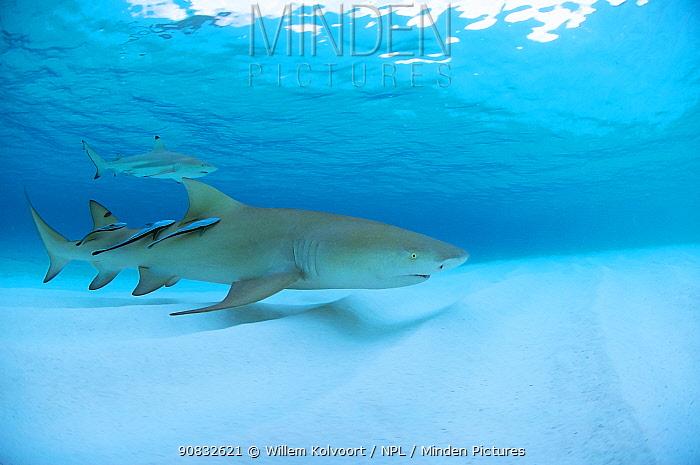 Lemon shark (Negaprion brevirostrus) together with Blacktip reef shark (Carcharhinus melanopterus) and three remoras just before sunset, Picard Island, Aldabra, Indian Ocean
