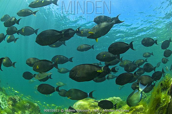 Epaulette surgeon fish (Acanthurus nigricauda) in Passe Dubois / Dubois channel, Aldabra, Indian Ocean