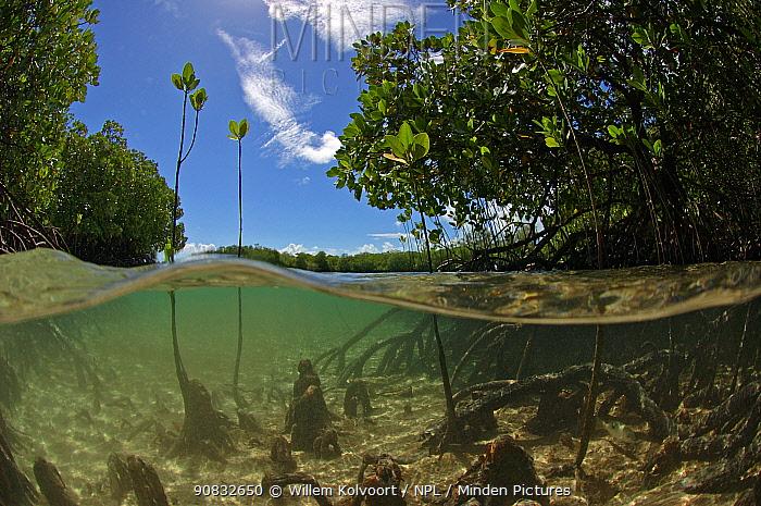 Split level view of young mangrove shoots, Passe Grande Magnan / Magnan channel, Aldabra, Indian Ocean