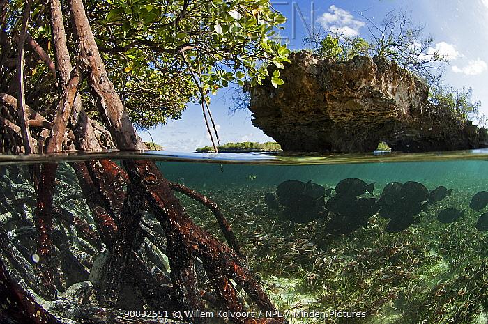 Split level view of Epaulette surgeon fish (Acanthurus nigricauda) in red mangroves, Passe Grande Magnan / Magnan channel, Aldabra, Indian Ocean