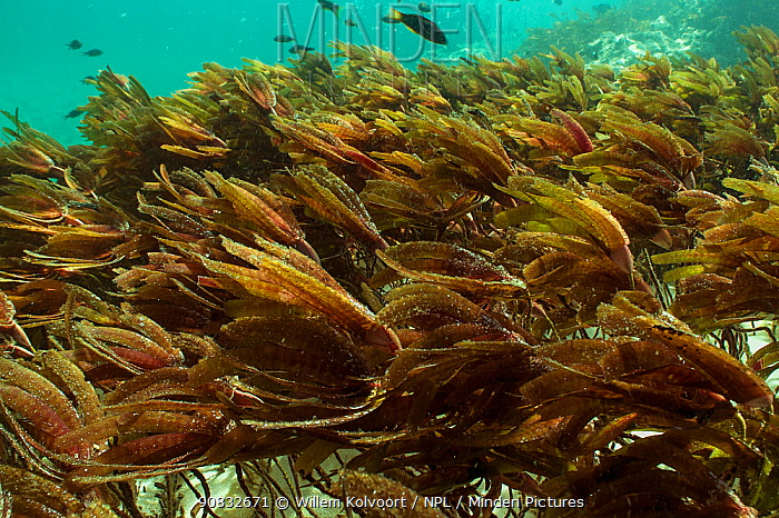 Seagrass moving in the tidal flow, Passe Dubois / Dubois channel, Aldabra, Indian Ocean