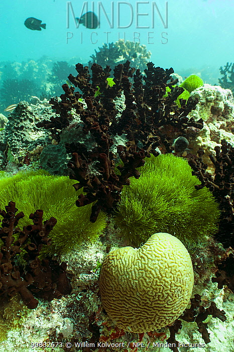 Coral reef landscape with algae, corals and fish, Passe Dubois / Dubois channel, Aldabra, Indian Ocean