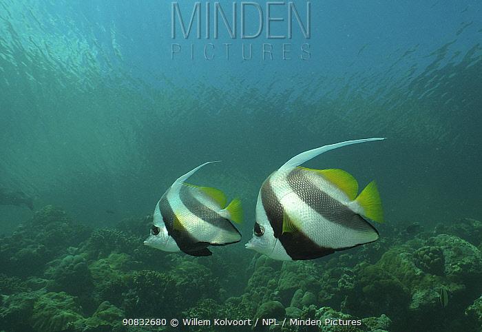 Longfin bannerfish (Heniochus acuminatus) in Passe Dubois / Dubois channel, Aldabra, Indian Ocean
