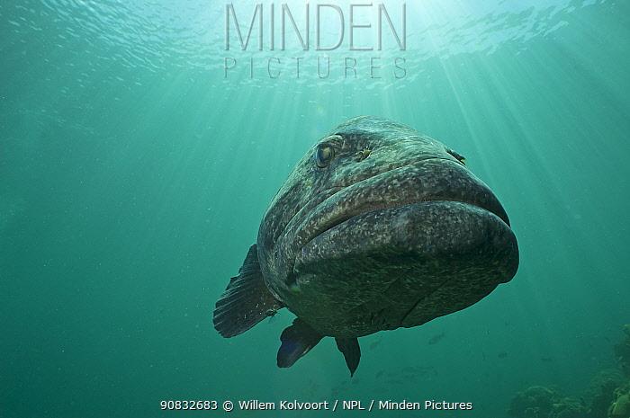 Potato grouper (Epinephelus tukala) in Passe Dubois / Dubois channel, Aldabra, Indian Ocean