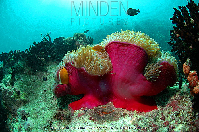 Anemone fish (Amphiprion akallopisos) over anemones in Passe Dubois / Dubois channel, Aldabra Indian Ocean
